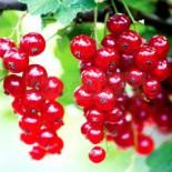 Ягодные культуры – высокоурожайные зимостойкие сорта…