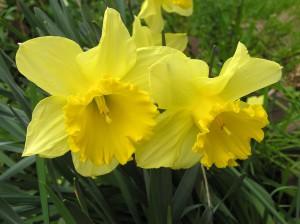 daffodil-2709203_960_720