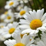 Выращивание рассады многолетних цветов в теплице