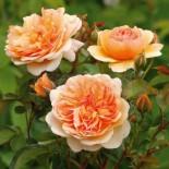 Часто задаваемые вопросыпри выращивании роз…