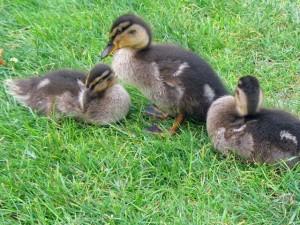 duckling-1689_640