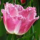 Тюльпаны. Отвечаем на вопросы