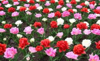Как выбрать тюльпаны для своего сада?