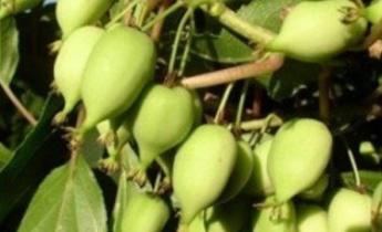 Актинидия аргута: выносливый киви, который можно выращивать в любом саду