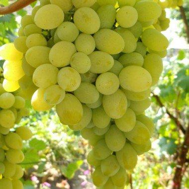 Описание и фото разных сортов винограда для выращивания на даче видео