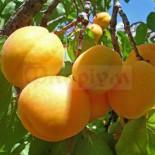 Абрикос – низкокалорийный продукт, который используется в диетическом питании…