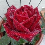 Выращивание роз в контейнерах…