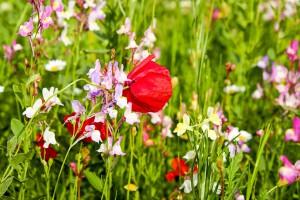 сад полевых цветов фото описание смотреть