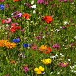 Как создать мавританский газон в своем саду?
