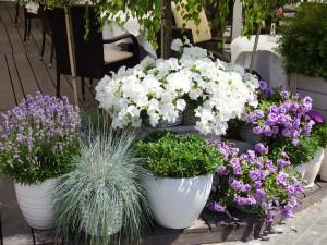 душистые цветы на балконе фото, описание, смотреть