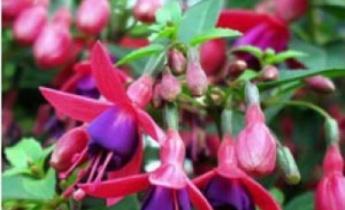 Как  поливать садовые цветы?