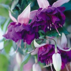 fuchsia_deep_purple-2