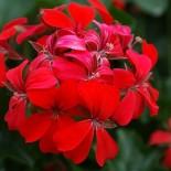 Почему пеларгония не цветет?