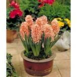Луковичные растения можно выращивать и в контейнерах…