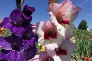 Летнецветущие луковичные и клубневые растения фото описание смотреть