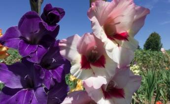 Летнецветущие луковичные и клубневые растения. Спрашивали? Отвечаем!