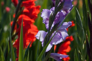 gladiolus-165913_960_720