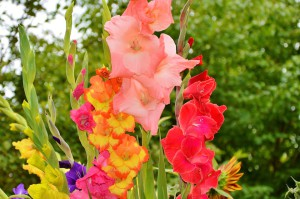 gladiolus-2538065_960_720