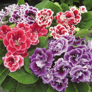 gloxinia_brocade_mix