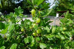 gooseberries-793028_1280