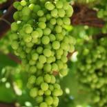 Посадка и уход за виноградом в первый год