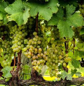 grapes-188185_960_720