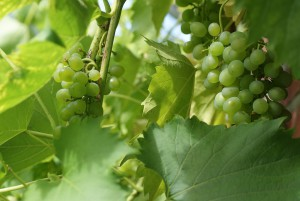 grapes-2083086_960_720