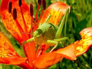grasshopper-99555_960_720