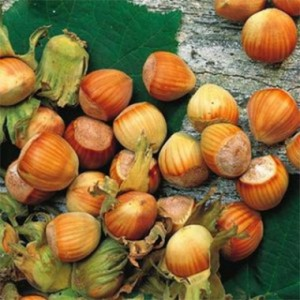 hazelnut-fertile-de-nottingham-2