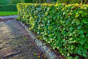 hedge-2903846_1280