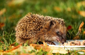 hedgehog-1584351_960_720