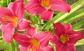 Лилейники: Модные растения из каталога Весна 2015…