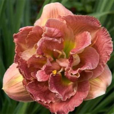 hemerocallis_double_pink_peony-1