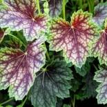 Гейхеры – яркая листва  для вашего сада…