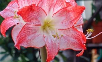 5 интересных фактов о цветке амариллисе, которых вы не знали…