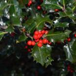 Почему падуб – символ Рождества?