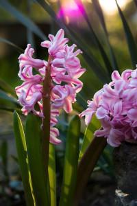 hyacinth-724740_960_720