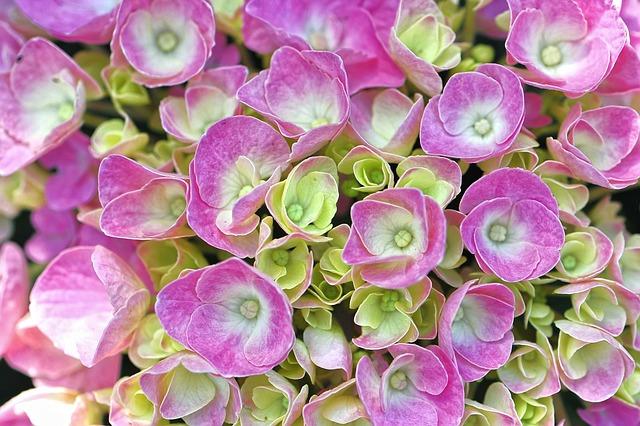 На какой год после посадки цветет гортензия как быстро