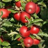 Как правильно выбрать сорта яблони?