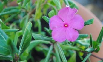 Бальзамин садовый – выращивание и уход…