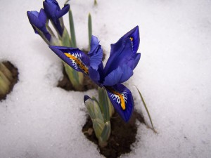 iris-breeding-221305_960_720