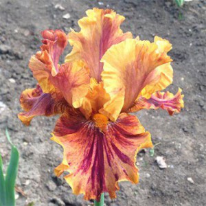 iris-crimson-tiger-1