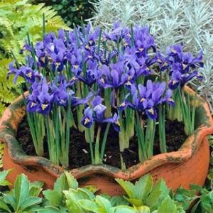 iris-harmony-1