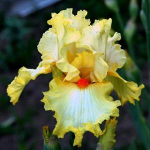 iris-marrtile-rowland-1