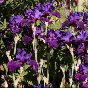 iris-plum-fun-3