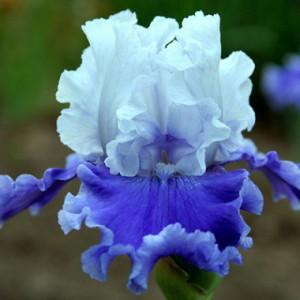 iris-sierra-grande-1