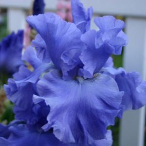 iris_g_yaquina_blue_1