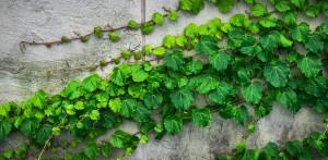 ivy-1659088_960_720