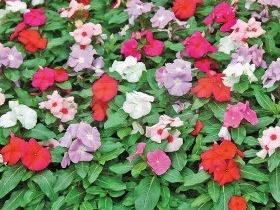 Время посева однолетних цветов…