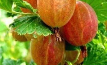 Крыжовник: высокоурожайные сорта